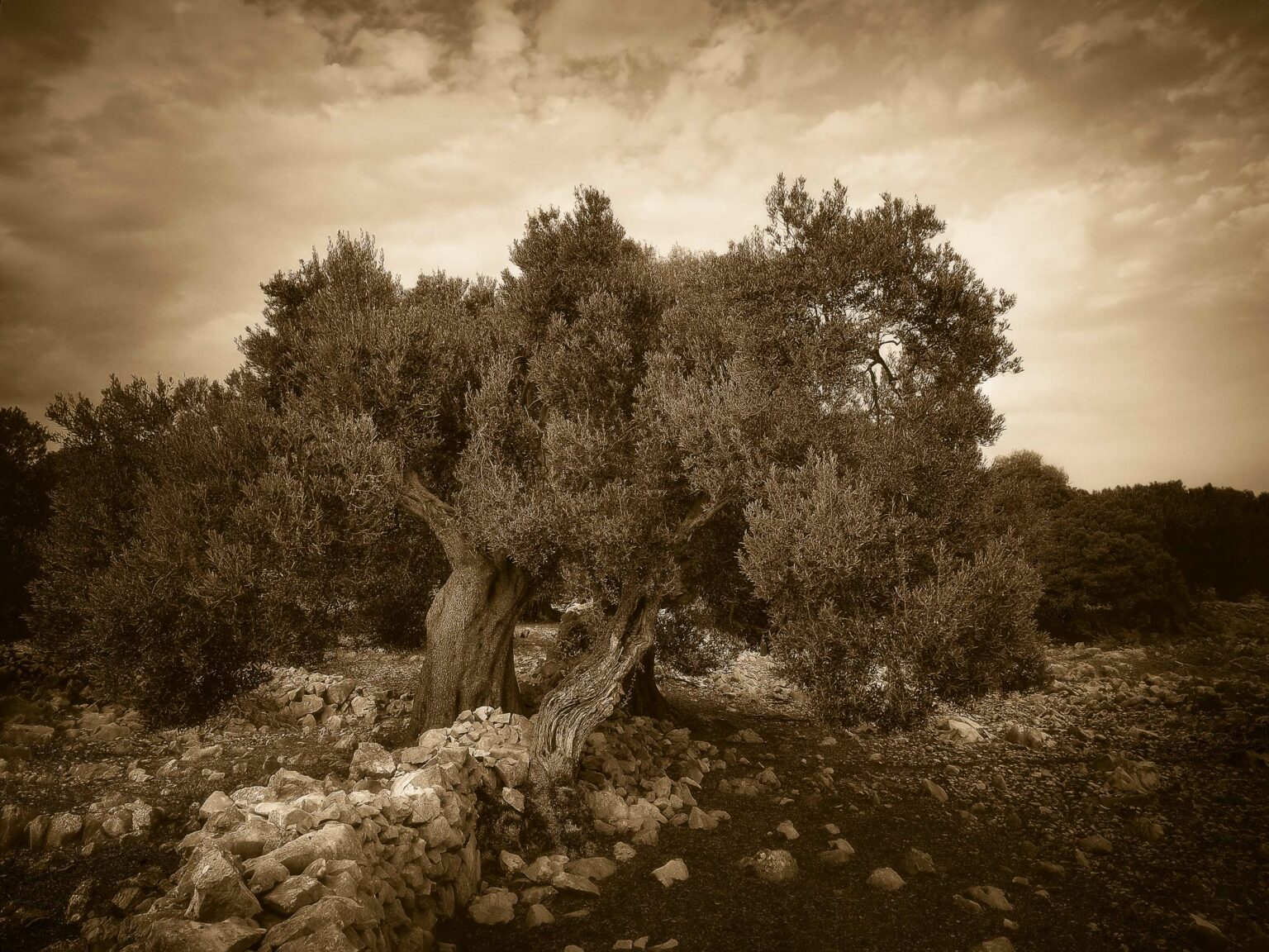 peter podpera landscape photography olive trees lun pag croatia 7187414